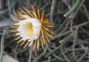 Blooming one night only. Selenicereus grandiflorus
